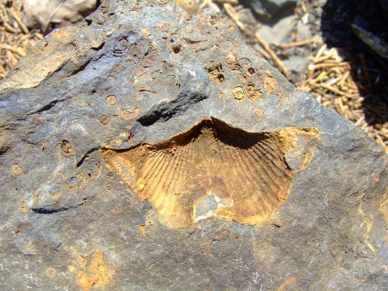 Devonian Marcellus Shale fossil brachiopod and crinoid