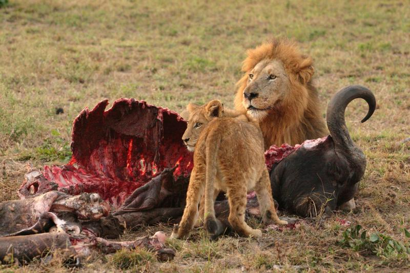 Lions and their prey, animal death, fall, curse